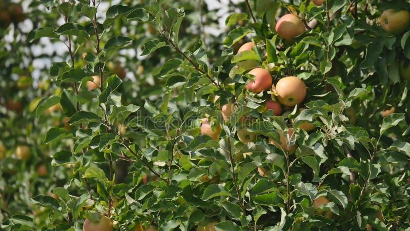 Jabłonie z żółtymi jabłkami w sadzie fotografia stock