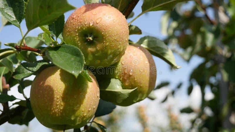 Jabłonie z żółtymi jabłkami w sadzie obraz royalty free