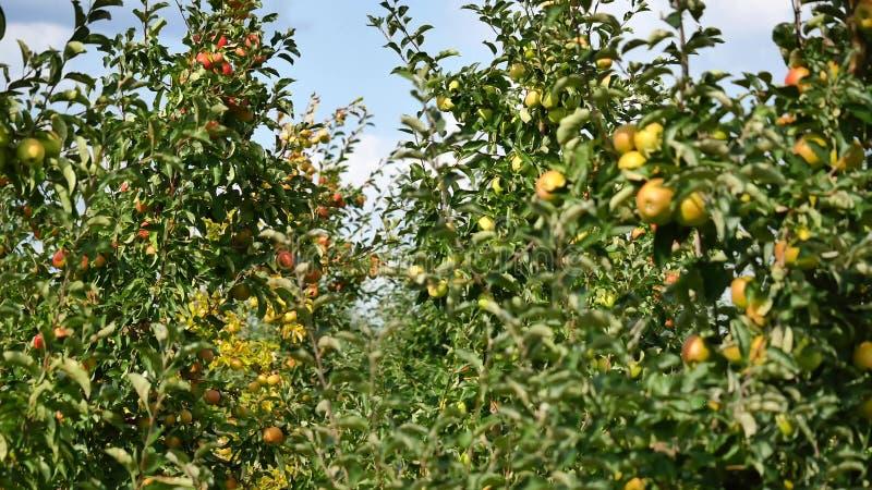 Jabłonie z żółtymi jabłkami w sadzie zdjęcia royalty free