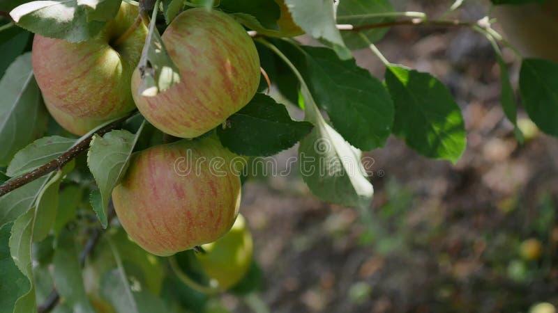 Jabłonie z żółtymi jabłkami w sadzie obrazy royalty free