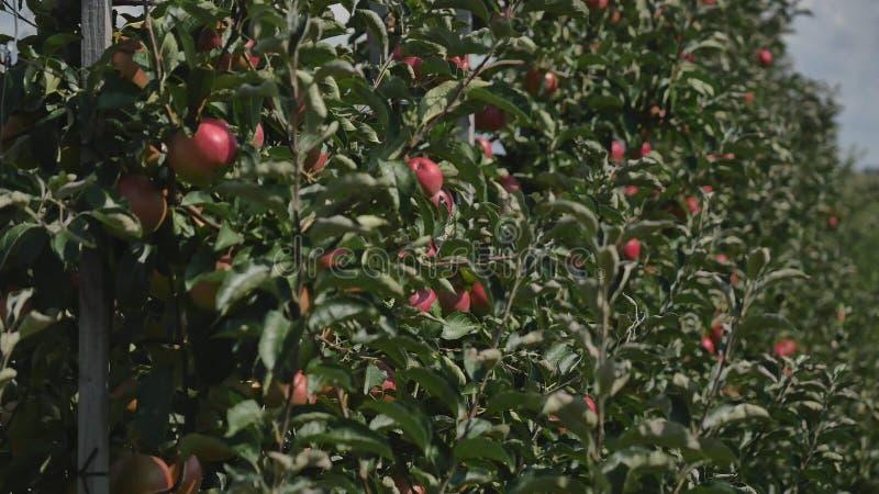 Jabłonie z czerwonymi jabłkami w sadzie fotografia stock