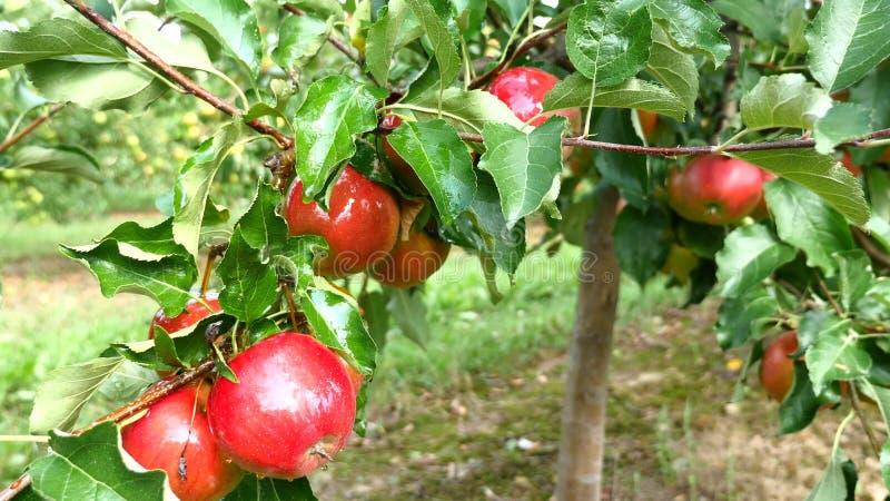 Jabłonie z czerwonymi jabłkami w sadzie zdjęcie royalty free