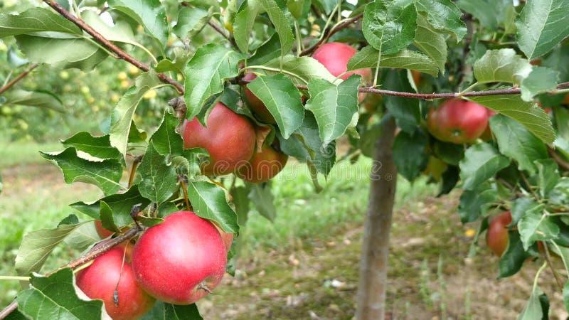 Jabłonie z czerwonymi jabłkami w sadzie obrazy royalty free