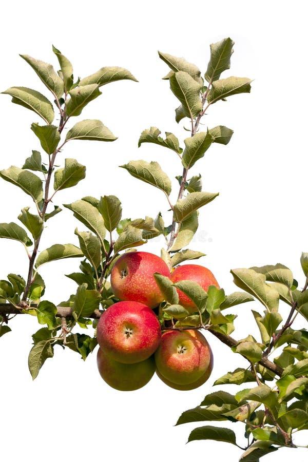 Download Jabłka obraz stock. Obraz złożonej z jesienny, gałąź - 33941179