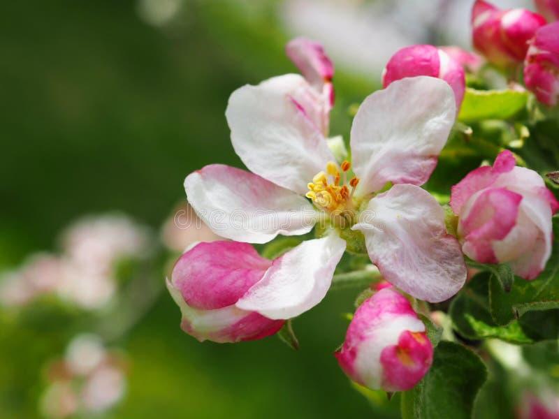 Jab?o? kwitnie w wio?nie Malus pumila kwiaty szczeg??owy rysunek kwiecisty pochodzenie wektora obrazy stock