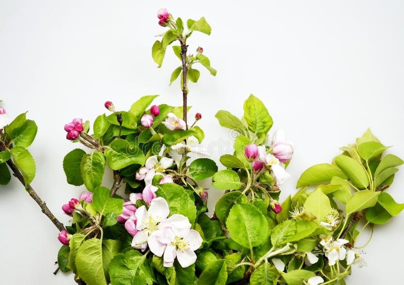 Jab?o? kwitnie z zielonymi li??mi zdjęcie stock