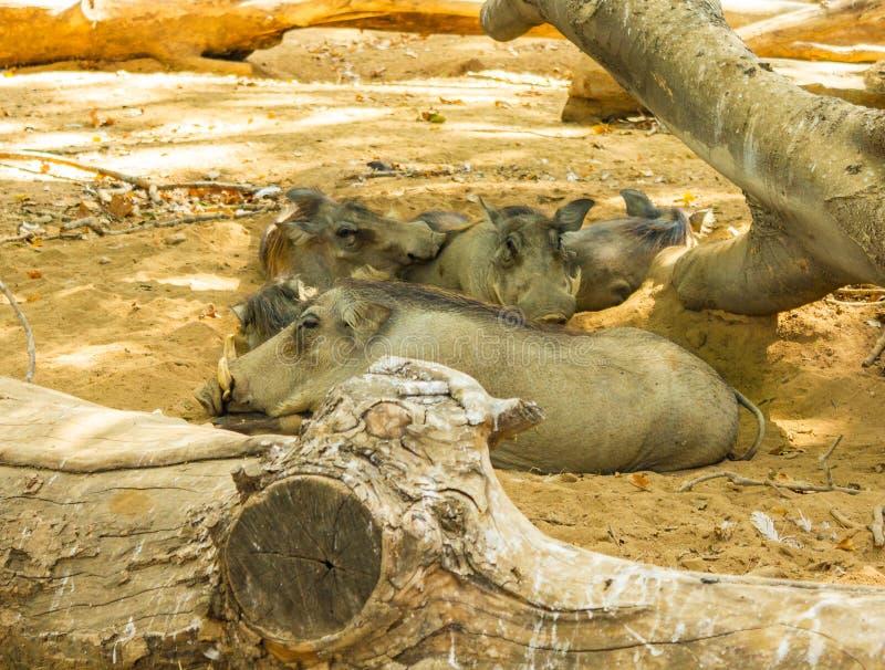 Jabalies, der im Vigo-Zoo Nickerchen macht lizenzfreies stockbild