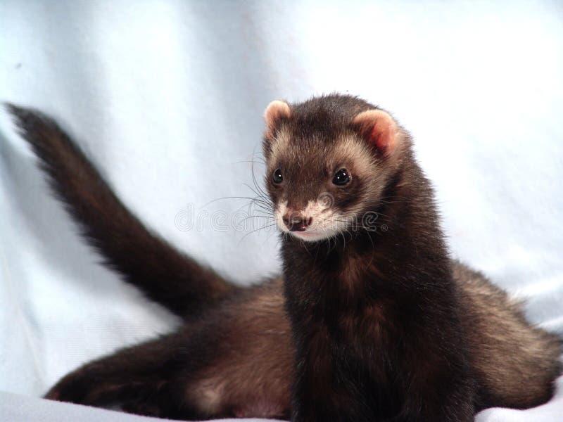 jabba ferret стоковые фотографии rf