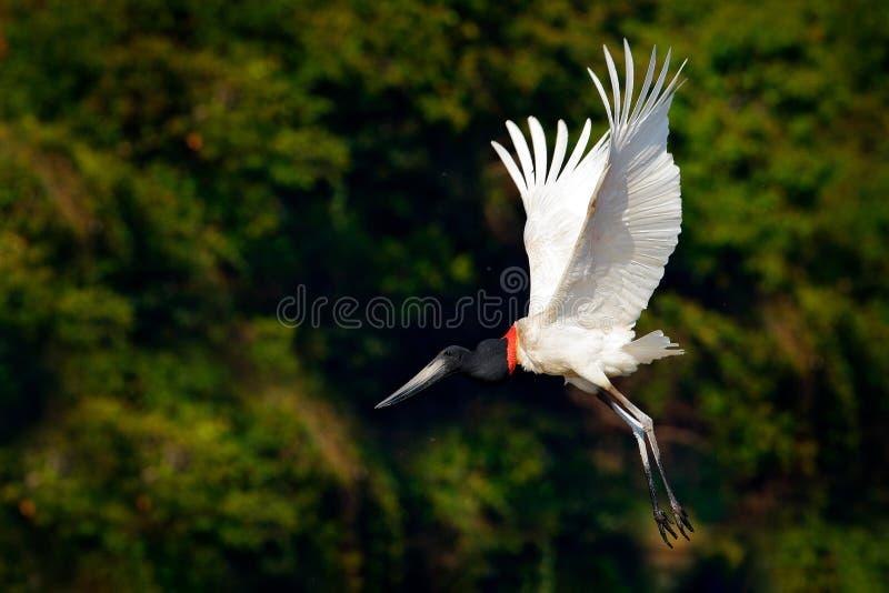Jabiru鹳飞行 Jabiru, Jabiru mycteria,黑白鸟在与花,开放翼,在na的野生动物的绿色水中 库存照片