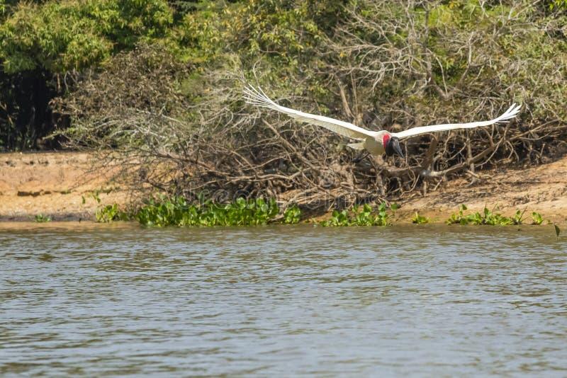 Jabiru bocian w locie nad rzeką zdjęcie stock