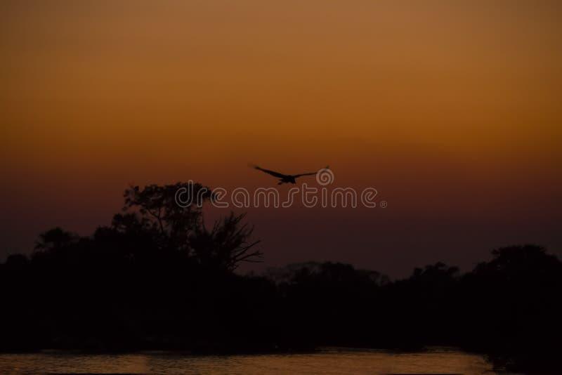 Jabiru Bocianowy latanie nad dżungli rzeką przy zmierzchem zdjęcie stock