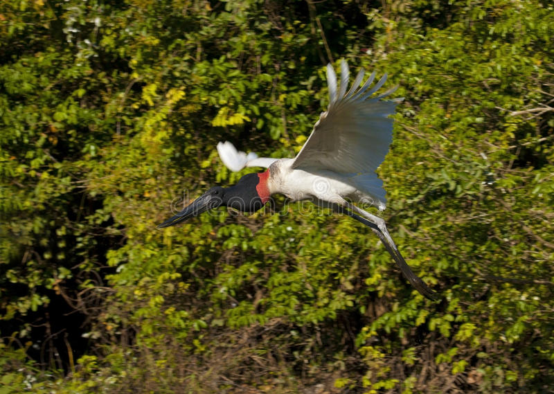 Jabiru flying royalty free stock image