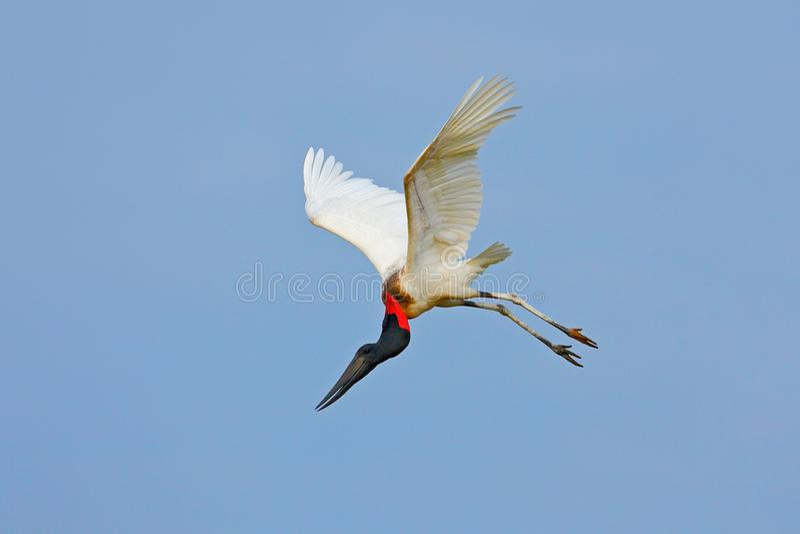 Jabiru, Jabiru mycteria, flying white bird with blue sky, Pantanal, Brazil. Big black and white bird on the sky. Wildlife scene fr. Om nature royalty free stock photo