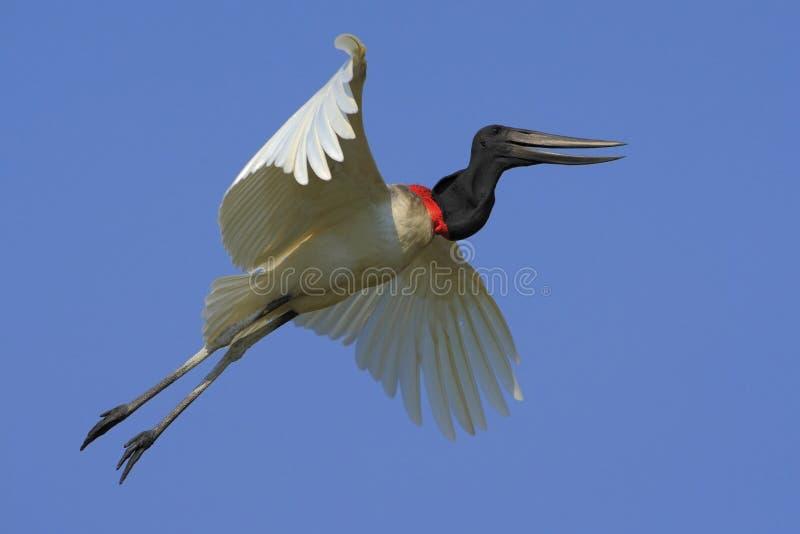 Jabiru, mycteria di Jabiru, uccello bianco volante con cielo blu, Pantanal, Brasile fotografie stock