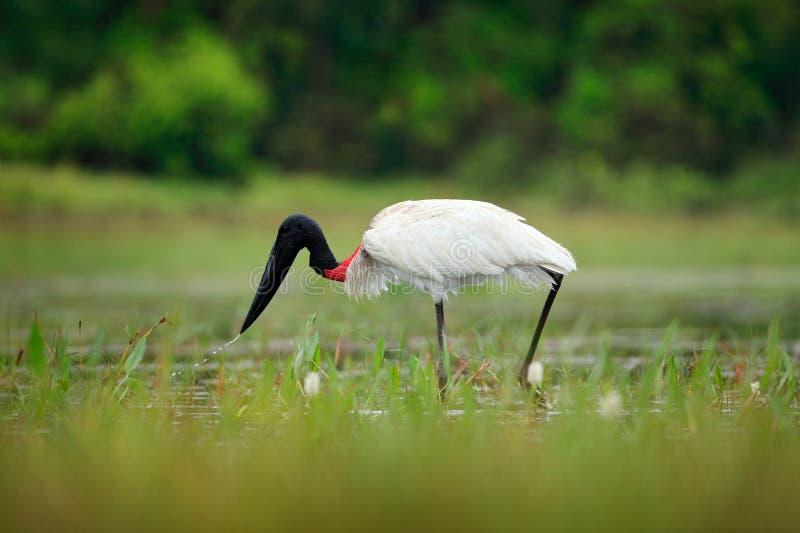 Jabiru, mycteria di Jabiru, uccello in bianco e nero in acqua verde con i fiori, Pantanal, Brasile Scena della fauna selvatica, S fotografia stock libera da diritti