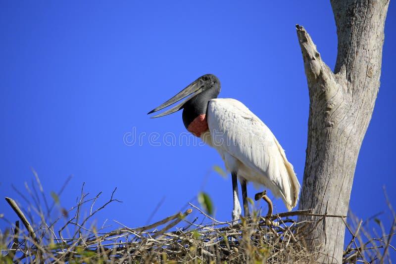 Jabiru nel suo nido immagini stock libere da diritti