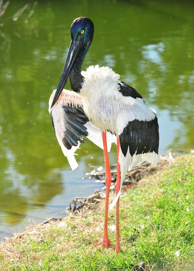 Jabiru oder schwarzköpfiger Storch, Australien stockbilder