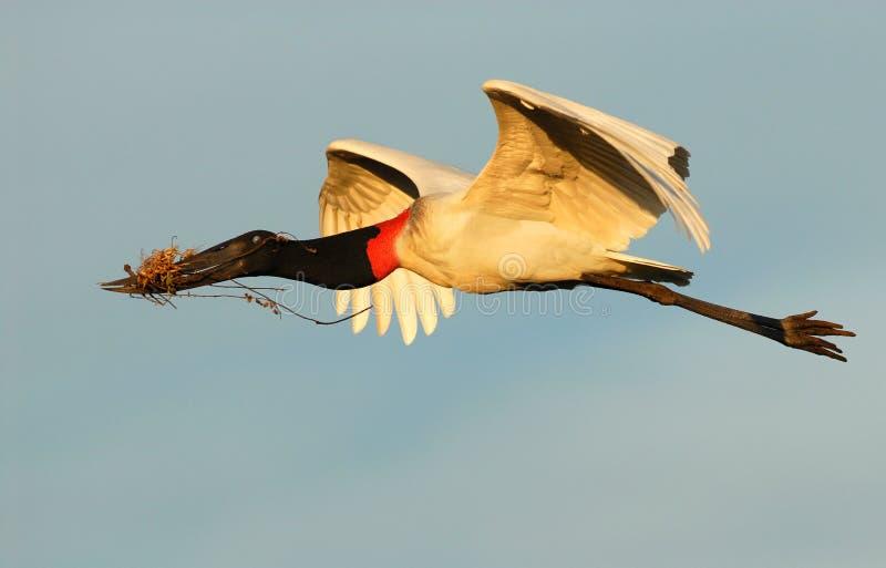 Jabiru stork stock images