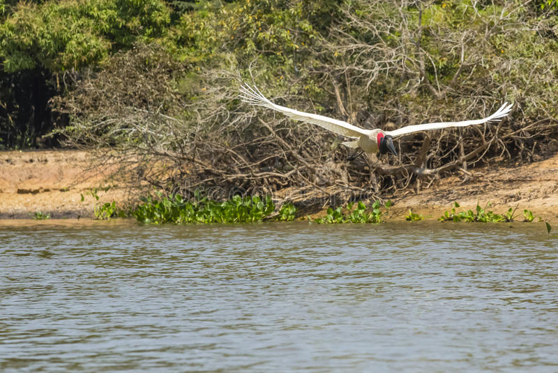 Jabiru stork i flykten över floden arkivfoto