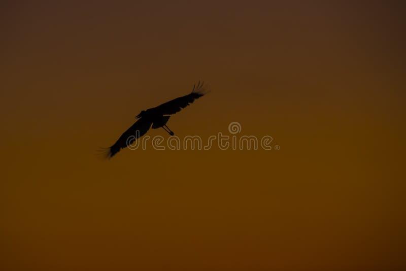 Jabiru stork i flykten på solnedgången arkivfoton