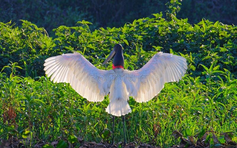 Jabiru Stork, Jabiru Mycteria, Cuiaba River, Porto Jofre, Pantanal Matogrossense, Mato Grosso do Sul, Brazil stock photo