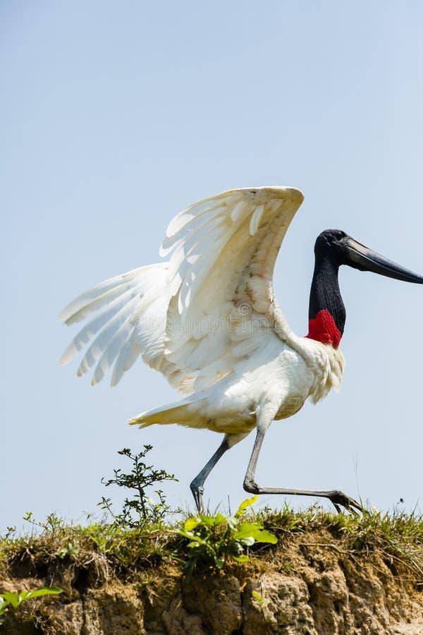 Jabiru stork som bråttom går fotografering för bildbyråer