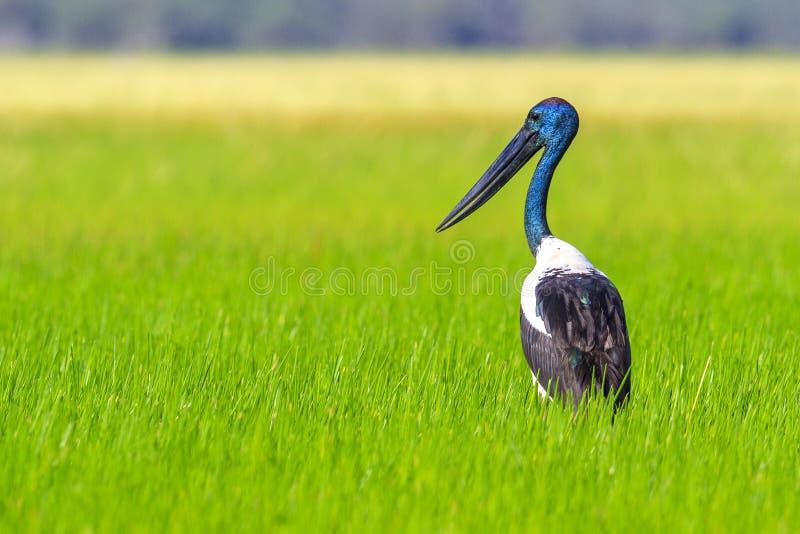 Jabiru stork in wetlands royalty free stock photo