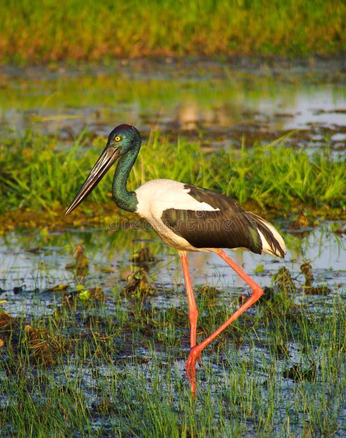 Jabiru wading in wetlands. Tall Jabiru (stork), wading through wetlands in Kakadu National Park, Northern Territory, Australia royalty free stock photography