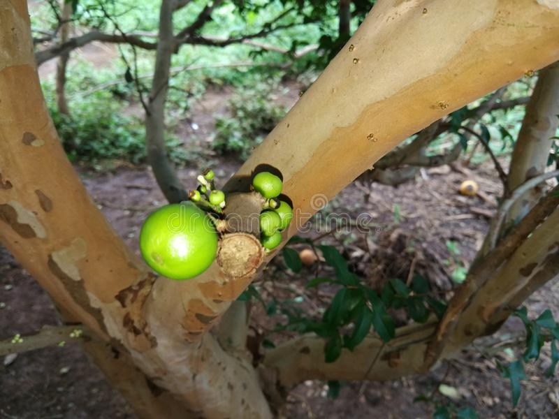 Jaboticaba树用绿色果子 免版税库存照片
