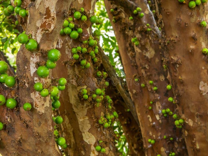Jaboticaba树用绿色果子 免版税库存图片