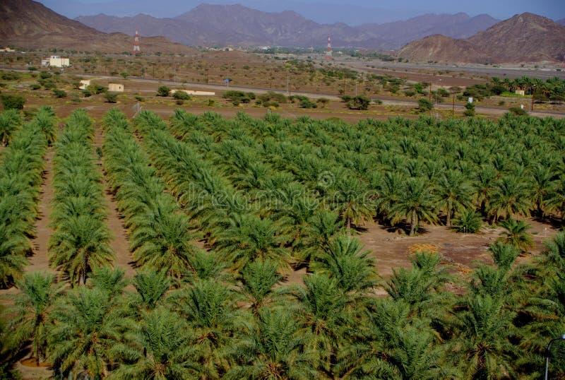 JabrinDadelpalmen, Oman stock afbeelding