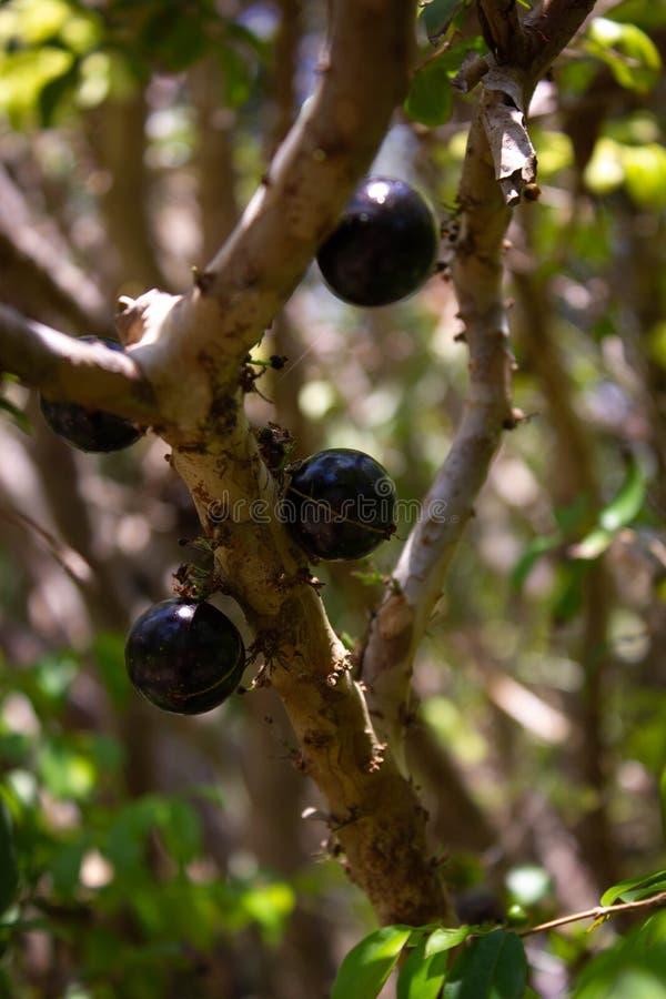 Jabuticaba fruit on tree, South Florida. Close up of Jabuticaba fruit on plinia cauliflora tree in sunny South Florida royalty free stock images