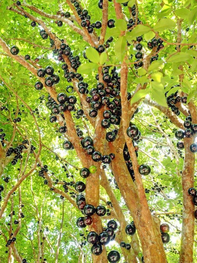 Jabuticaba frukt royaltyfri bild