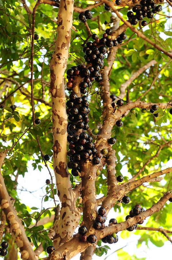 Jabuticaba träd, brasiliansk naturlig frukt arkivbilder