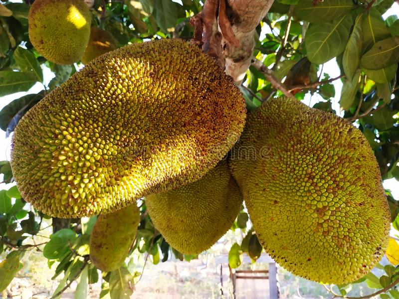 Jaca, fruto exótico brasileiro fotografia de stock royalty free