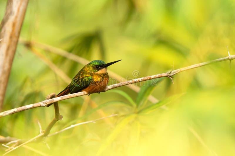 Jacamar Rufous-coupé la queue se reposant sur la forêt des Caraïbes Trinidad-et-Tobago, oiseau exotique coloré de branche en bamb photo stock