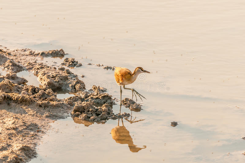 Jacana africano acerbo ad un waterhole in Namibia del Nord immagini stock