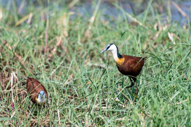 jacana africano que procura pelo alimento nos pantanais do rio do chobe em botswana em África foto de stock