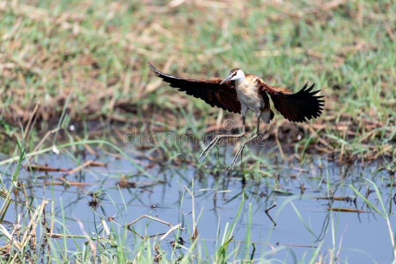 jacana africano que procura pelo alimento nos pantanais do rio do chobe em botswana em África foto de stock royalty free