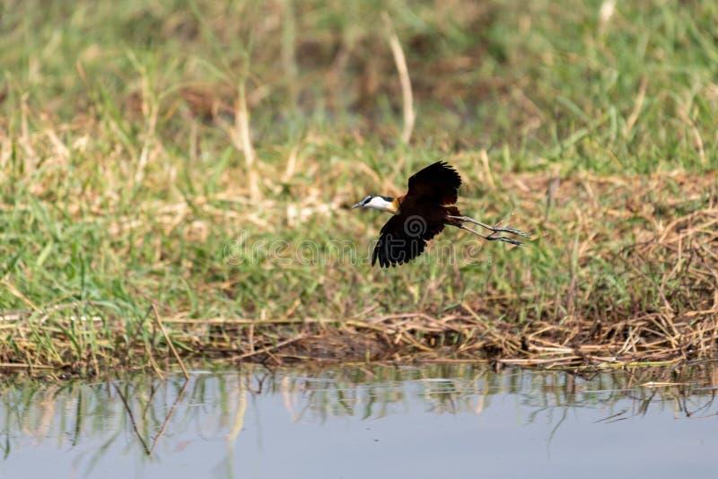 jacana africano que procura pelo alimento nos pantanais do rio do chobe em botswana em África imagem de stock royalty free