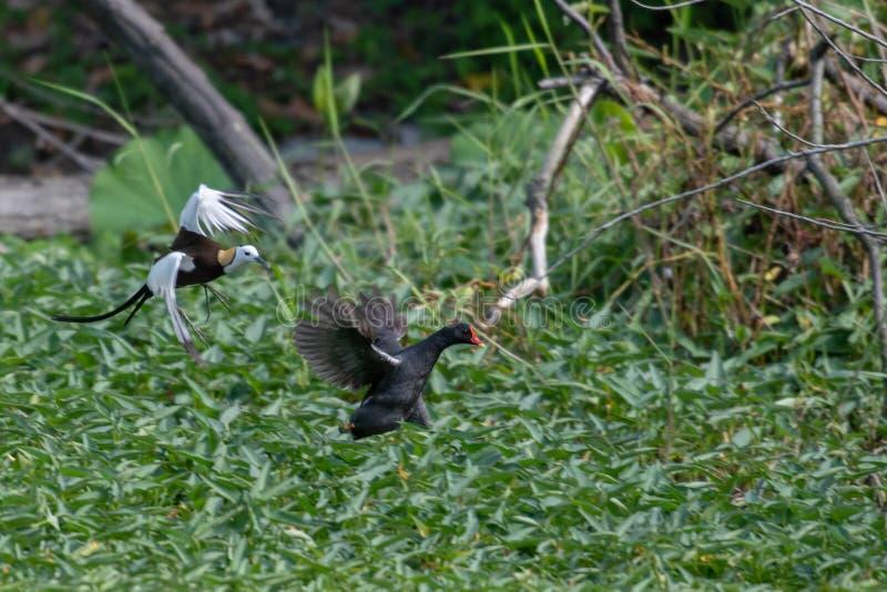Jacana Faisão-atado guarda o local para conduzir afastado a galinha-d'água comum fotografia de stock