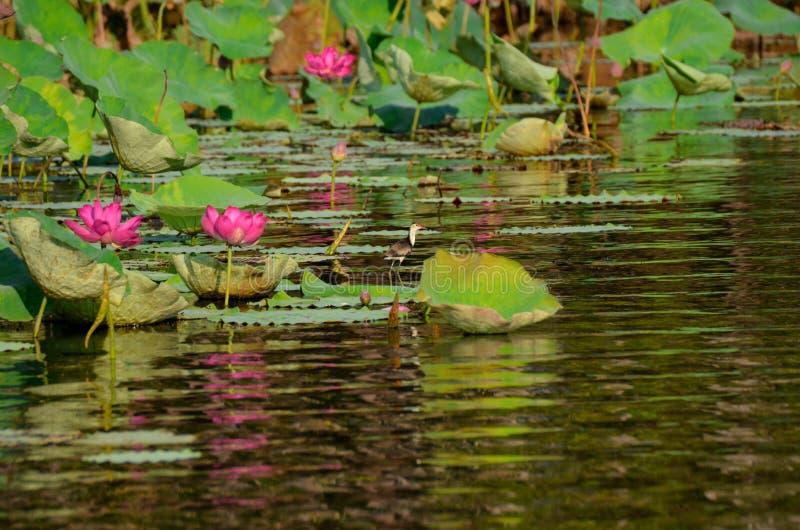 Jacana hembra-varón en Nymphaea púrpura rosado del lirio de los lirios de agua en el parque nacional darwin Australia del kakadu fotografía de archivo libre de regalías