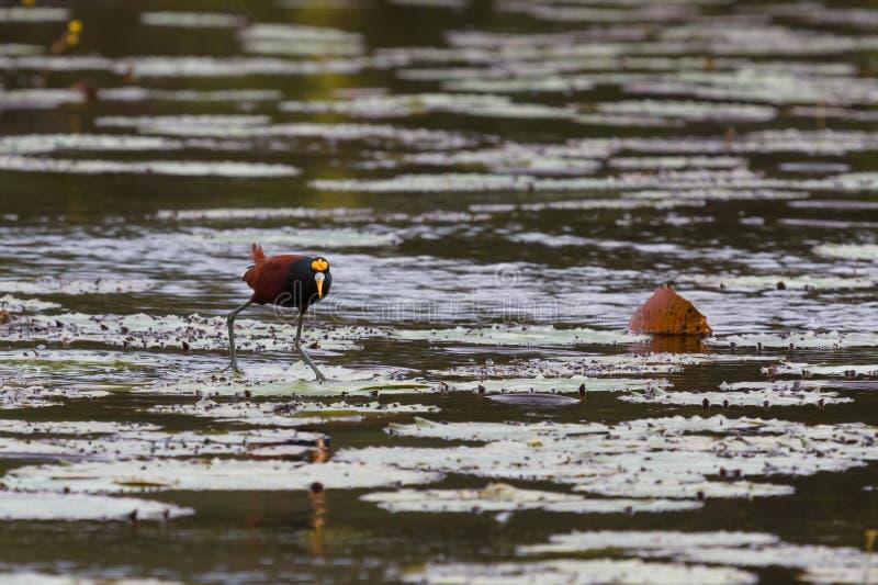 Jacana nordico che cammina sopra le foglie sul nuovo fiume immagini stock