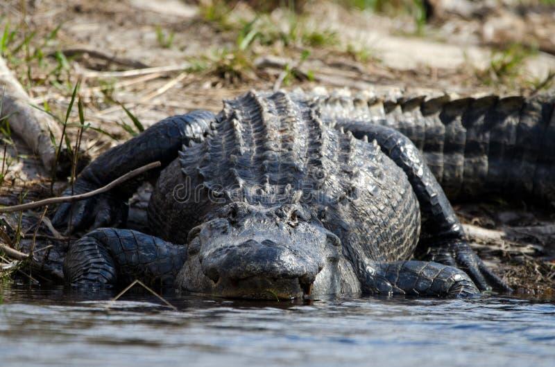 Jacaré americano enorme, reserva natural do nacional do pântano de Okefenokee imagens de stock