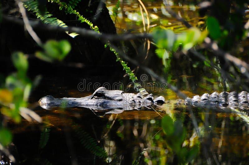 Jacaré americano que flutua no pântano foto de stock