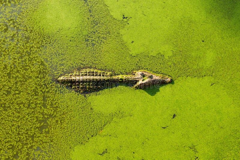 Jacaré na lagoa do pantanal coberta com a lentilha-d'água e a natação imagem de stock royalty free
