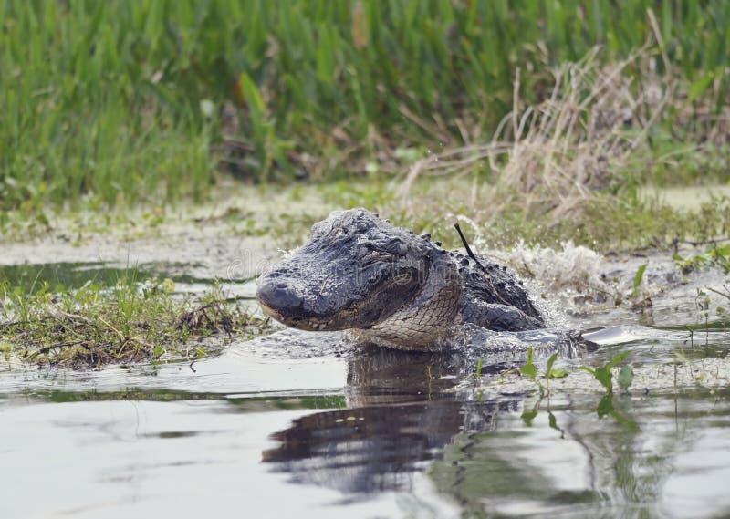 Jacaré selvagem de Florida fotos de stock royalty free