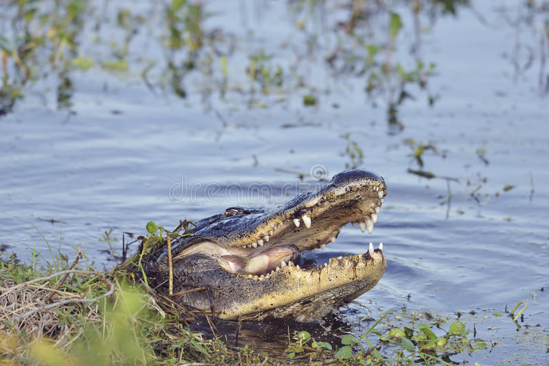 Jacaré selvagem de Florida imagens de stock