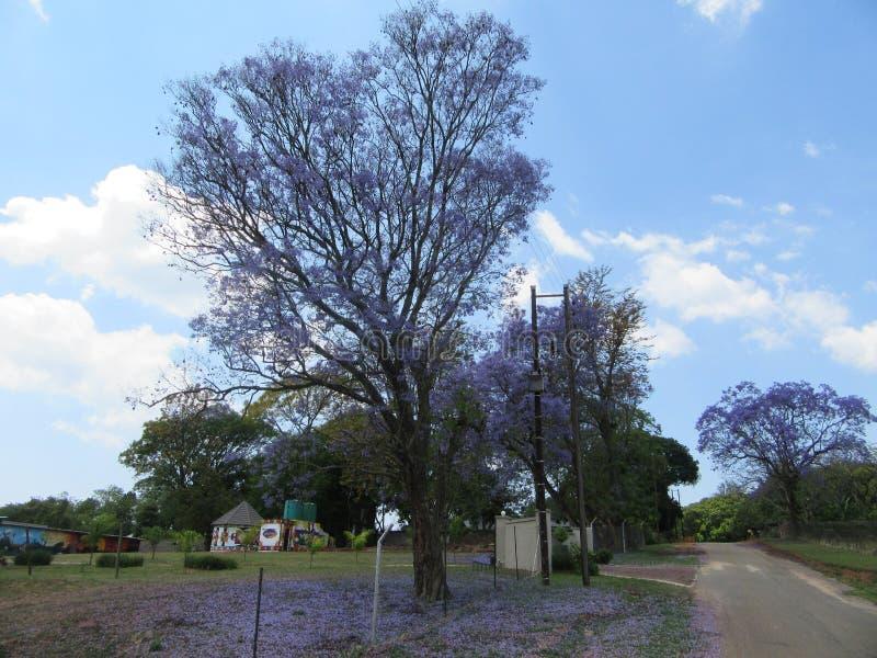Jacaranda Bloom. Beauty of Jacaranda flowering in the Lowveld SouthAfrica royalty free stock image