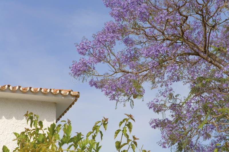 Jacaranda blossom stock images